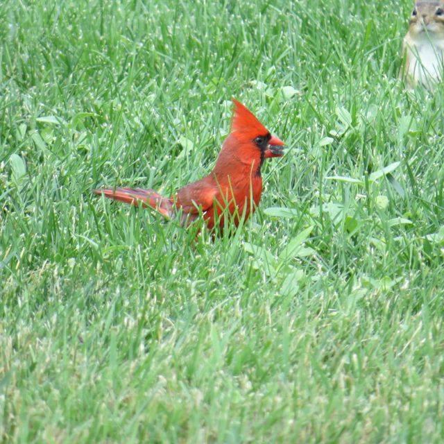 cardinalsquirrel
